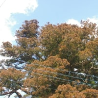 千葉県旭市、熊野神社の大杉です!!
