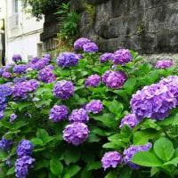 白山神社の文京あじさいまつり
