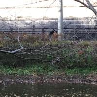 オサンポ walk - 翡翠(カワセミ) a kingfisher