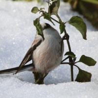 雪の上でも大丈夫、エナガ