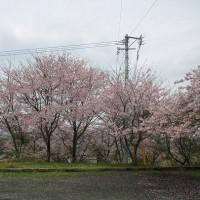 H29年の『じいちゃん坂の桜』 です