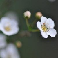 イワヤツデの花