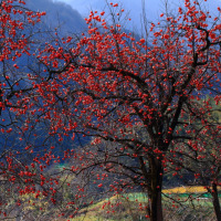 金沢市南部丘陵の初冬 渓流・残り柿