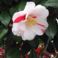 石楠花(しゃくなげ)椿、花々。