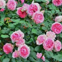 薔薇が咲いた薔薇が咲いた・・・