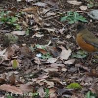 今日の鳥コレクション・・・アカハラ