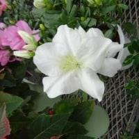 我が家のレウィシアいつ咲くの?