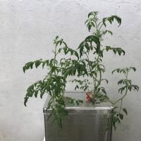 トマトの成長記録  Tomato's growth record
