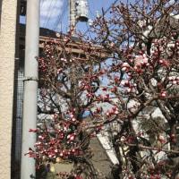 当局宅の梅がしょぼいので、第33回さいたま市梅まつりに行ってきました!