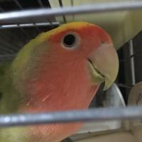 ヤンヤン(ゴンちゃん)の羽