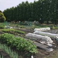 2017 菜園近況「短形自然薯の植付け」
