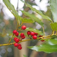赤く熟したシロダモの果実