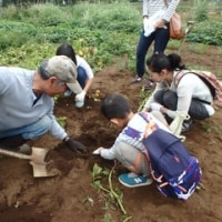 2017年6月18日(日) 梅もぎ-3 ジャガイモ掘り(1)