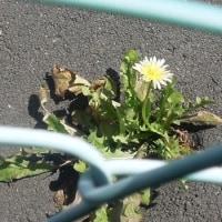 シロハナタンポポが咲いていました