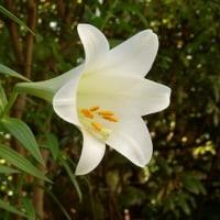 テッポウユリが咲いた