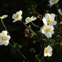 シュウメイギク (秋明菊)が沢山咲いてます