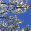 まだ梅の開花ですが…桜まだかなぁ