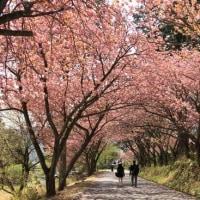 奥山高原の桜トンネル