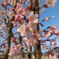 桜さん、1本だけ満開