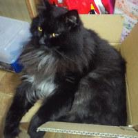 箱入り息子(猫)の龍之介