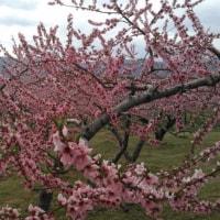 桃の花がピークです!