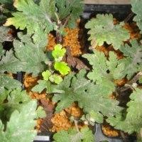 挿し芽した菊の発根