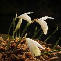 タイリントキソウ 白花