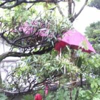 4月の花椿 傘