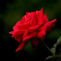 """薔薇の魅力は""""妖しさ""""と""""秘めた凄み""""です。。。"""