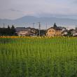 ★ひまわり畑の元気ひまわり(その2) 2017