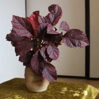 柏葉紫陽花紅葉