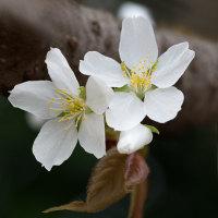 桜咲く(Ⅵ)