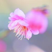 紅梅 (花 4236)