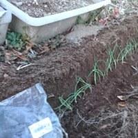 ディスカウント過ぎる葱の苗