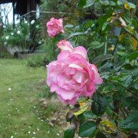 まだ咲いてます バラのストロベリーアイス