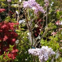 カルミヤ サラの花