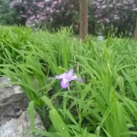 ヒメシャガの開花が始まりました!