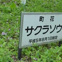 軽井沢の町花 サクラソウ