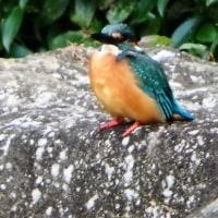 2度目の出会いのカワセミ in相模原北公園・水鳥の池