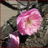 花・庭の紅梅