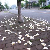 矢板市の木は夏椿!