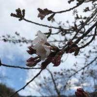 桜、もう咲いとるに。
