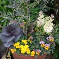 3/12 エリア1Sの花壇:マーガレット