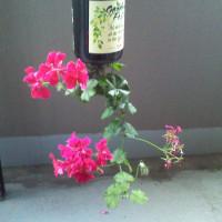 アイビーゼラニウム ~ワインボトルでハンギング~