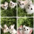 チワワのシータちゃんとリリちゃん ミニサイズの羊毛フェルト愛犬マスコット