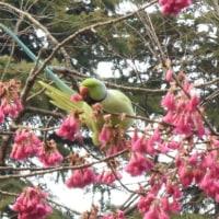 寒緋桜は美味しいのか、ワカケホンセイインコ。