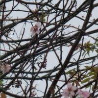 釧路の季節外れの桜