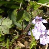 川の土手にカキドオシの花