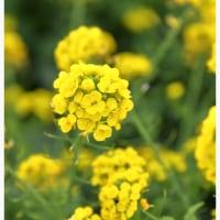 菜の花 8