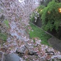 真間川の桜 2017.04.11